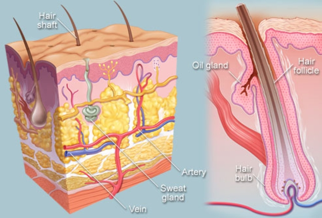 Anatomy of Hair Follicle