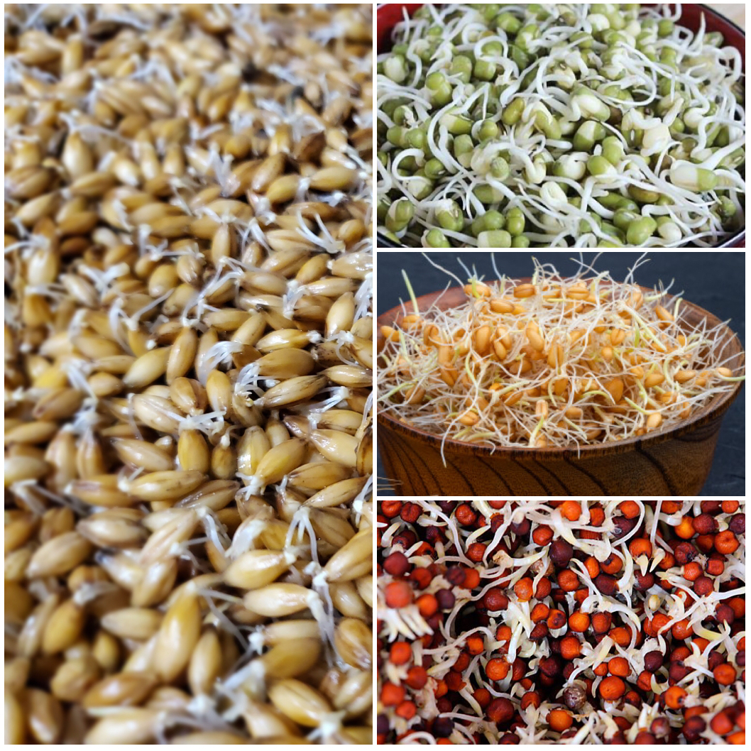 Barley, wheat, mung beans and finger millet sprouts for making home-made protein powder for kids